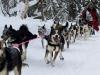02 als Wheeldog beim Iditarod ,Team Silvia Furtwängler